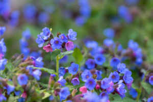 Close shot of flowering blue and pink Pulmonaria