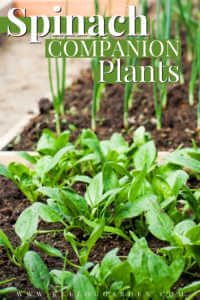 """Spinach and chives growing in a raised bed garden with text, """"Spinach companion plants"""""""
