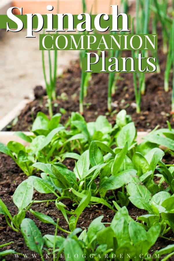 "Spinach and chives growing in a raised bed garden with text, ""Spinach companion plants"""