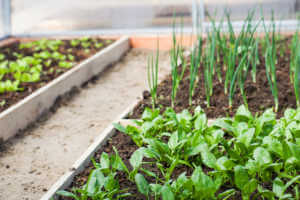 Spinach and chives growing in a raised bed garden.