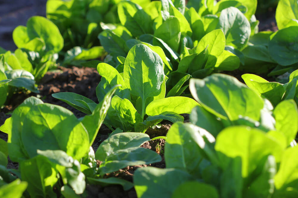 Spinach growing in a garden.