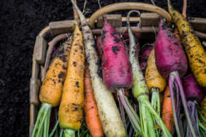 Basket of freshly harvested yellow, white, orange, and purple carrots.
