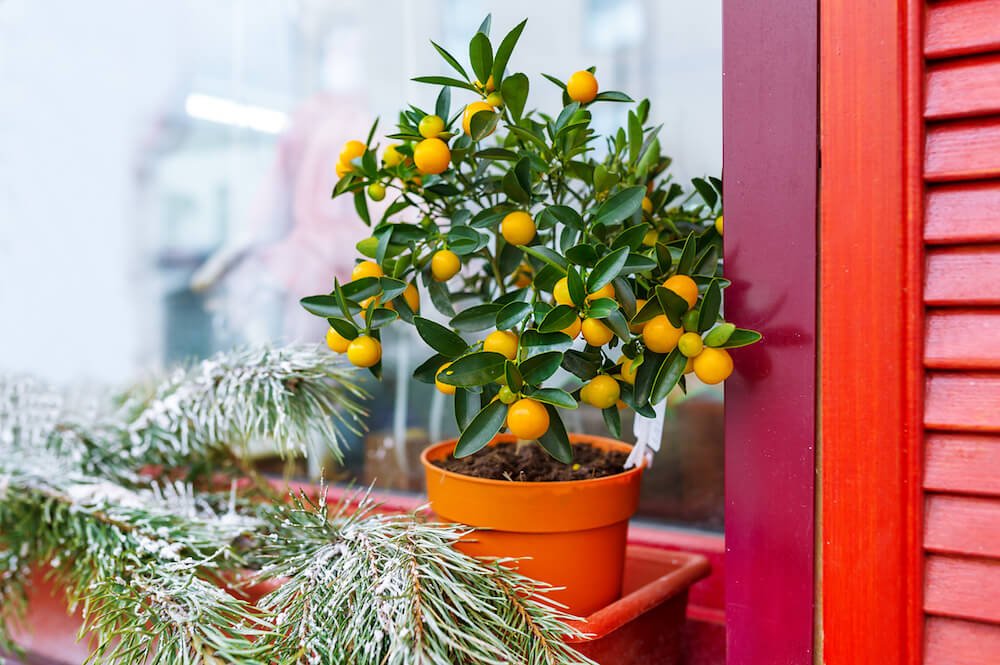 small citrus tree growing in winter on a windowsill