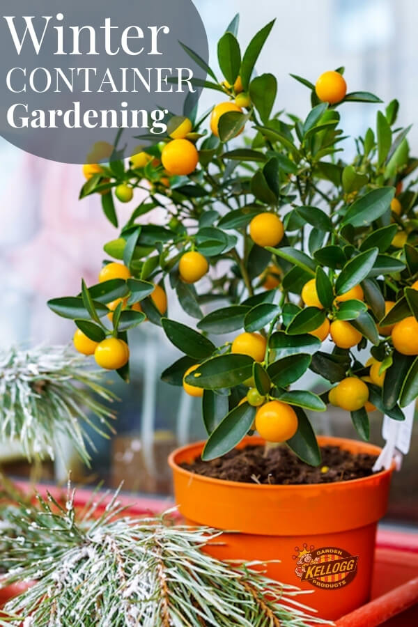 "small citrus tree growing in winter on a windowsill with text, ""Winter container gardening"""