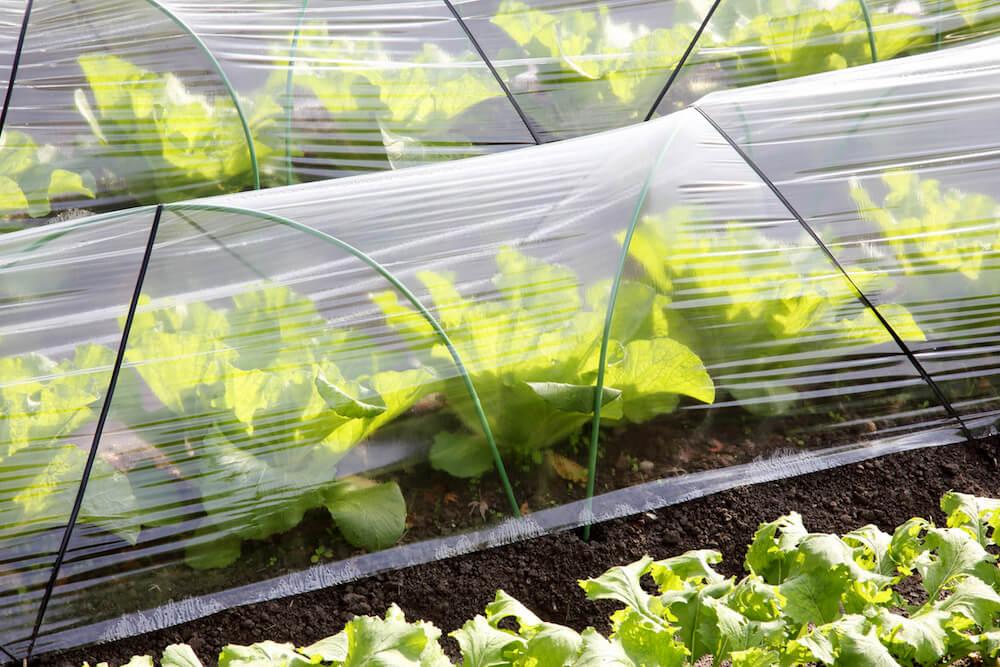Winter Garden Vegetables Under Row Covers