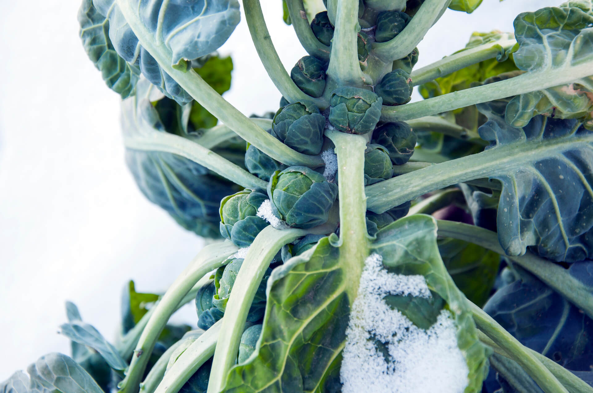 brussels sprouts in garden covered snow
