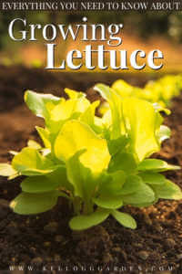 "Lettuce head growing in garden with text, ""Everything you need to know about growing lettuce"""