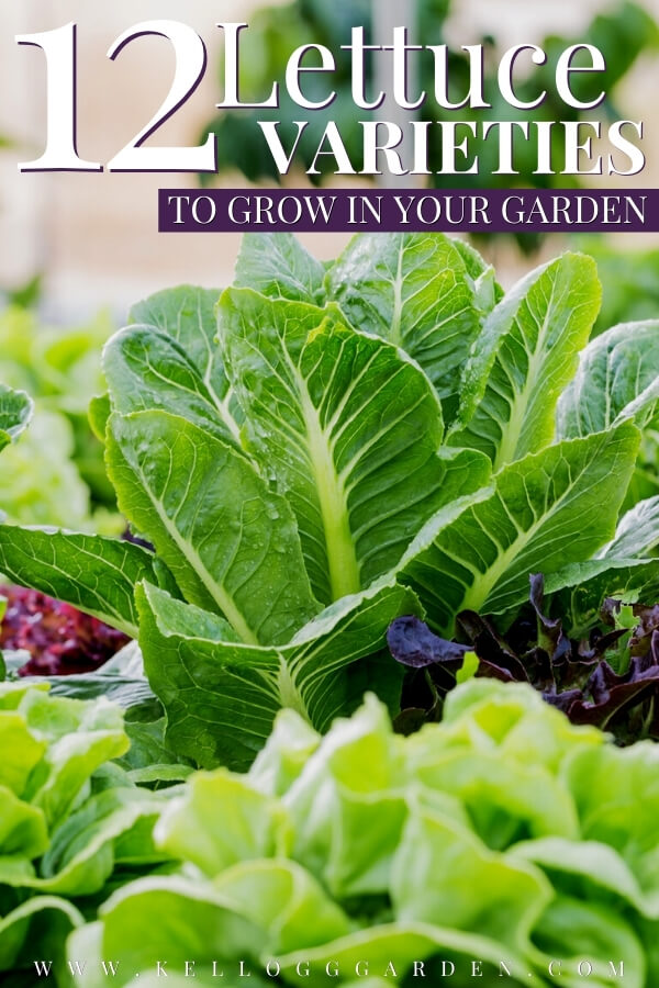 "Different lettuce varieties growing in a garden with text, ""12 lettuce varieties in grow in your garden"""