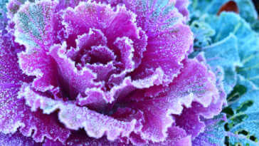 Morning frost on purple leaves of decorative ornamental cabbage