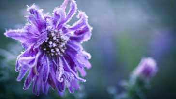 Purple aster covered in frost