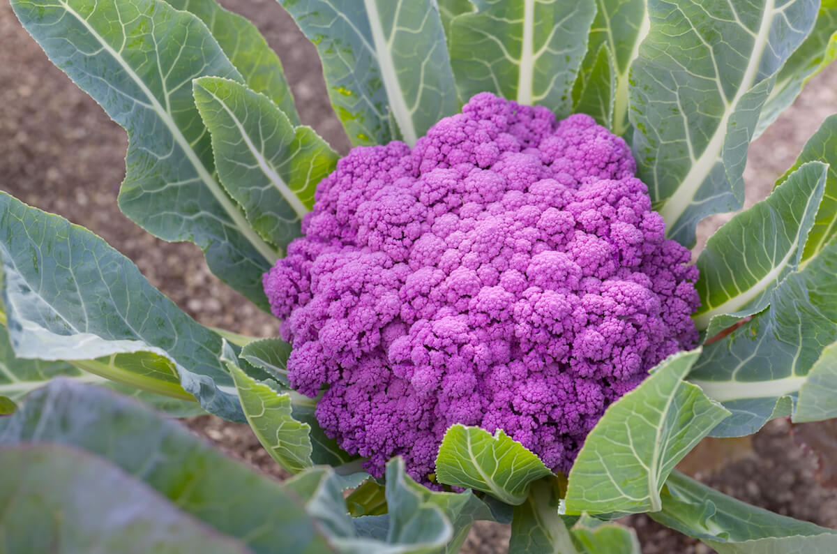 Purple cauliflower growing in a garden.