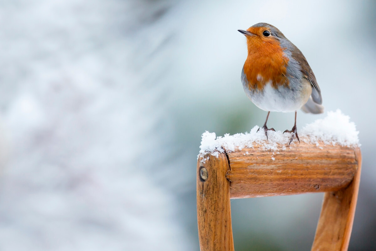 Robin perched on a snowy shovel handle.
