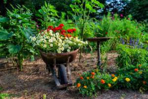 Flowers in a wheelbarrow in a flower garden