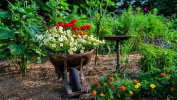 Flowers in a wheelbarrow in a flower garden