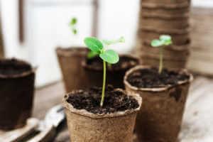 Seedling growing in cardboard pot.