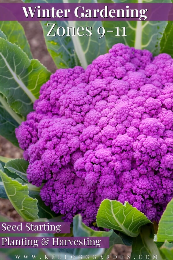 """Purple cauliflower growing in a garden with text, """"Winter Gardening zones 9-11. Seed starting, planting, and harvesting""""."""