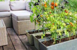 Tomatoes growing in rectangle containers with metal stakes inside them creating a vertical garden.
