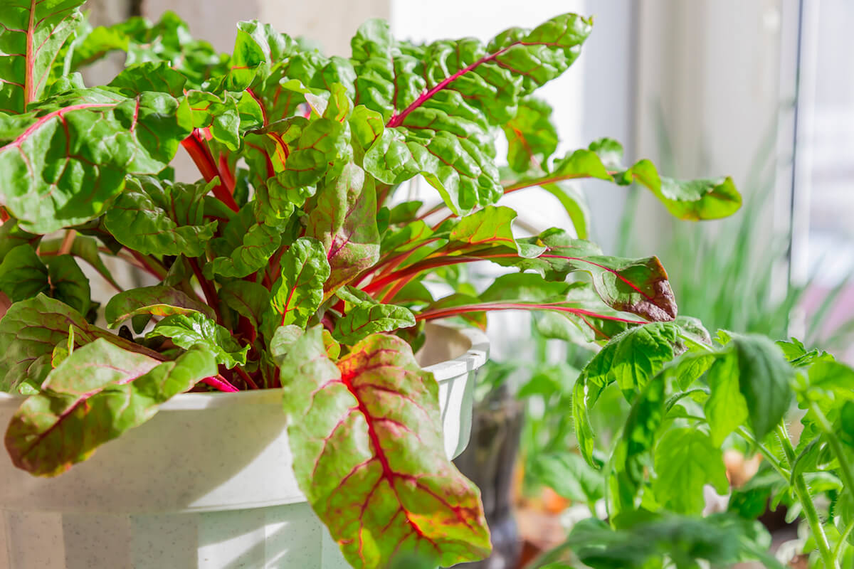 Growing chard in a white container in windowsill.