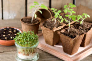 Seed sprouting indoors and microgreens growing in small glass jar.
