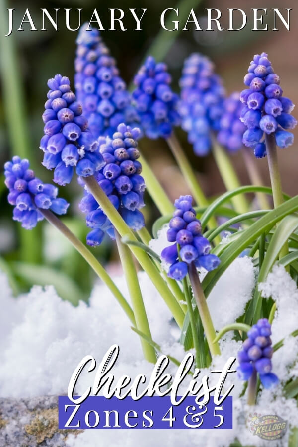 """Grape hyacinths in the spring surrounded by snow with text, """"January garden checklist zones 4 and 5"""""""