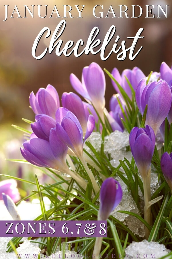 """Lilac colored crocuses in spring snow with text, """"January garden checklist zones 6, 7, and 8"""""""