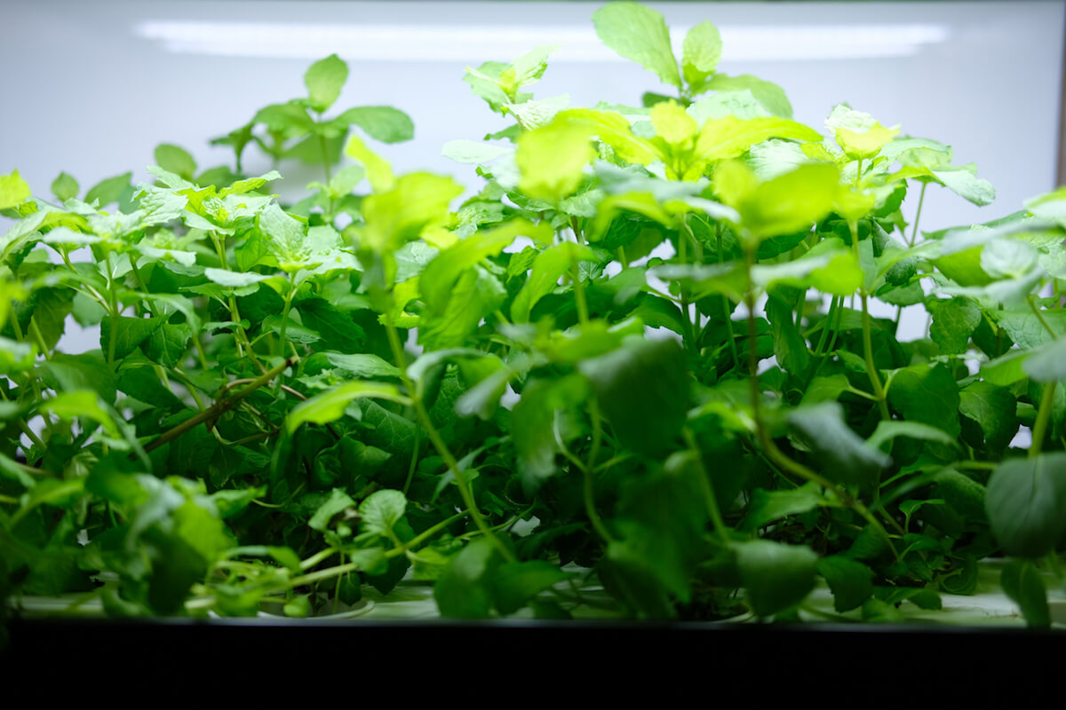 Hydroponic vegetable starts growing on a shelf with artificial light.