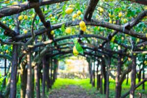 Lemons growing in a wooden trellis