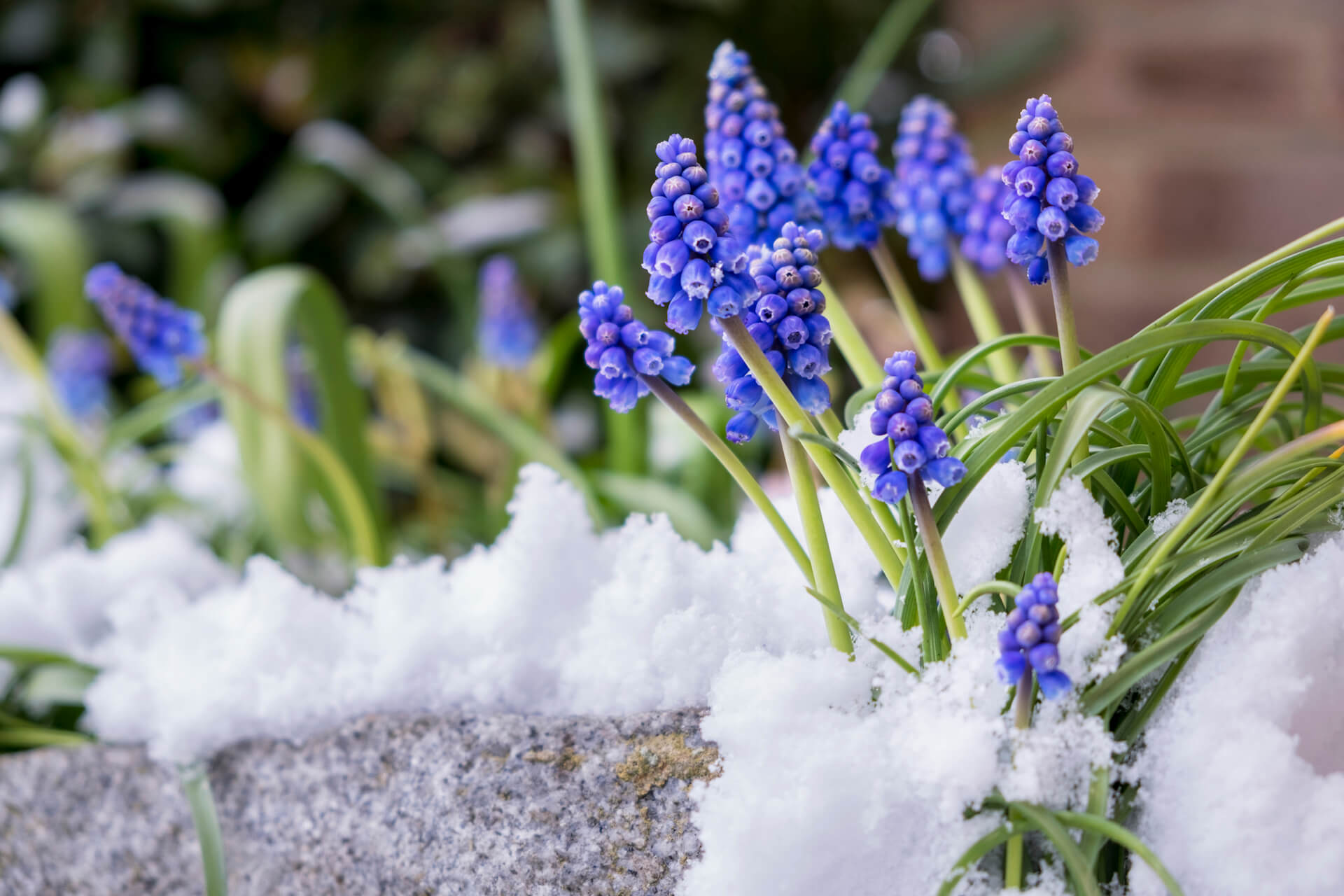 Grape hyacinths in the spring surrounded by snow.