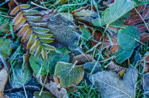 Frosty Winter Leaves on the ground.