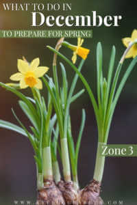 """Group of yellow narcissus flower with root bulbs with text, """"What to do it December to Prepare for Spring Zone 3""""."""