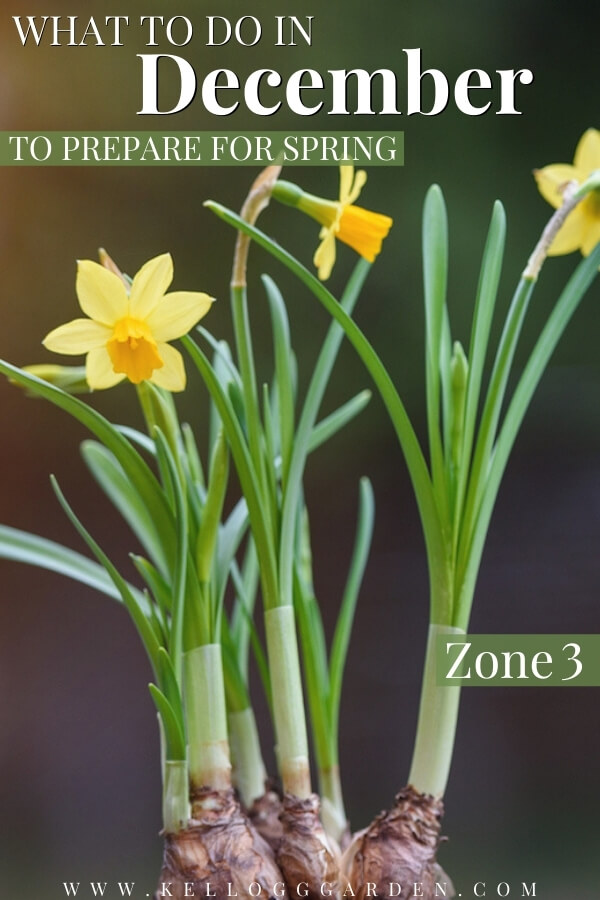 "Group of yellow narcissus flower with root bulbs with text, ""What to do it December to Prepare for Spring Zone 3""."