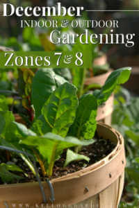 """Lettuce growing in containers with text, """"December indoor and outdoor gardening zones 7 and 8""""."""