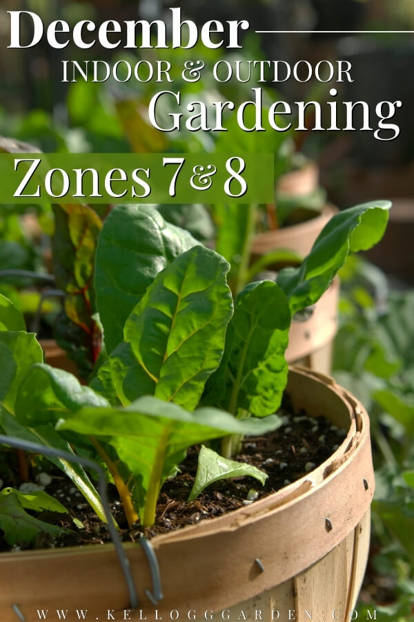 "Lettuce growing in containers with text, ""December indoor and outdoor gardening zones 7 and 8""."