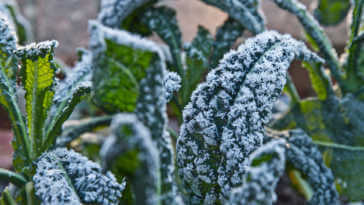 Kale leaves covered in frost.