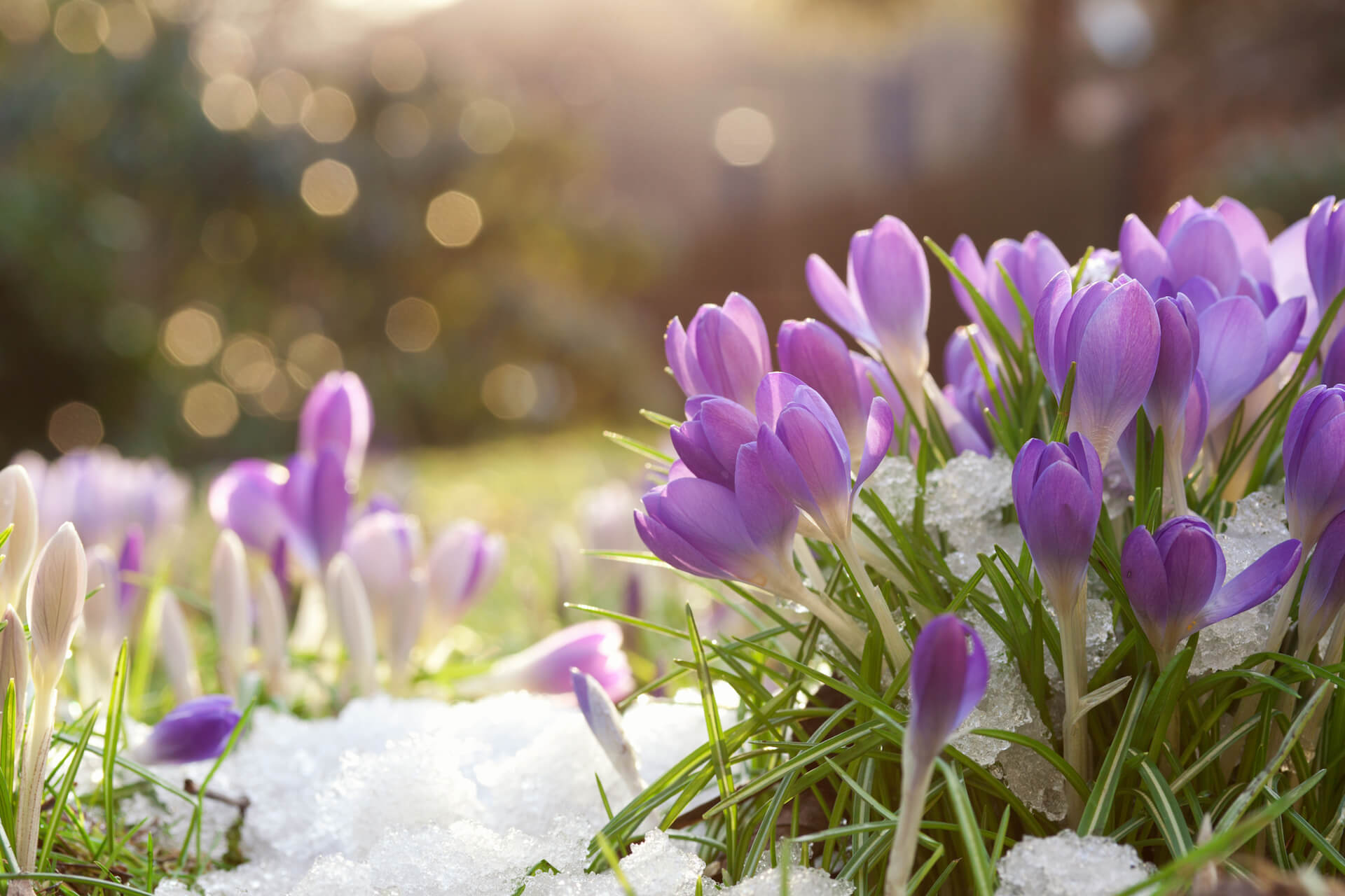 Lilac colored crocuses in spring snow .
