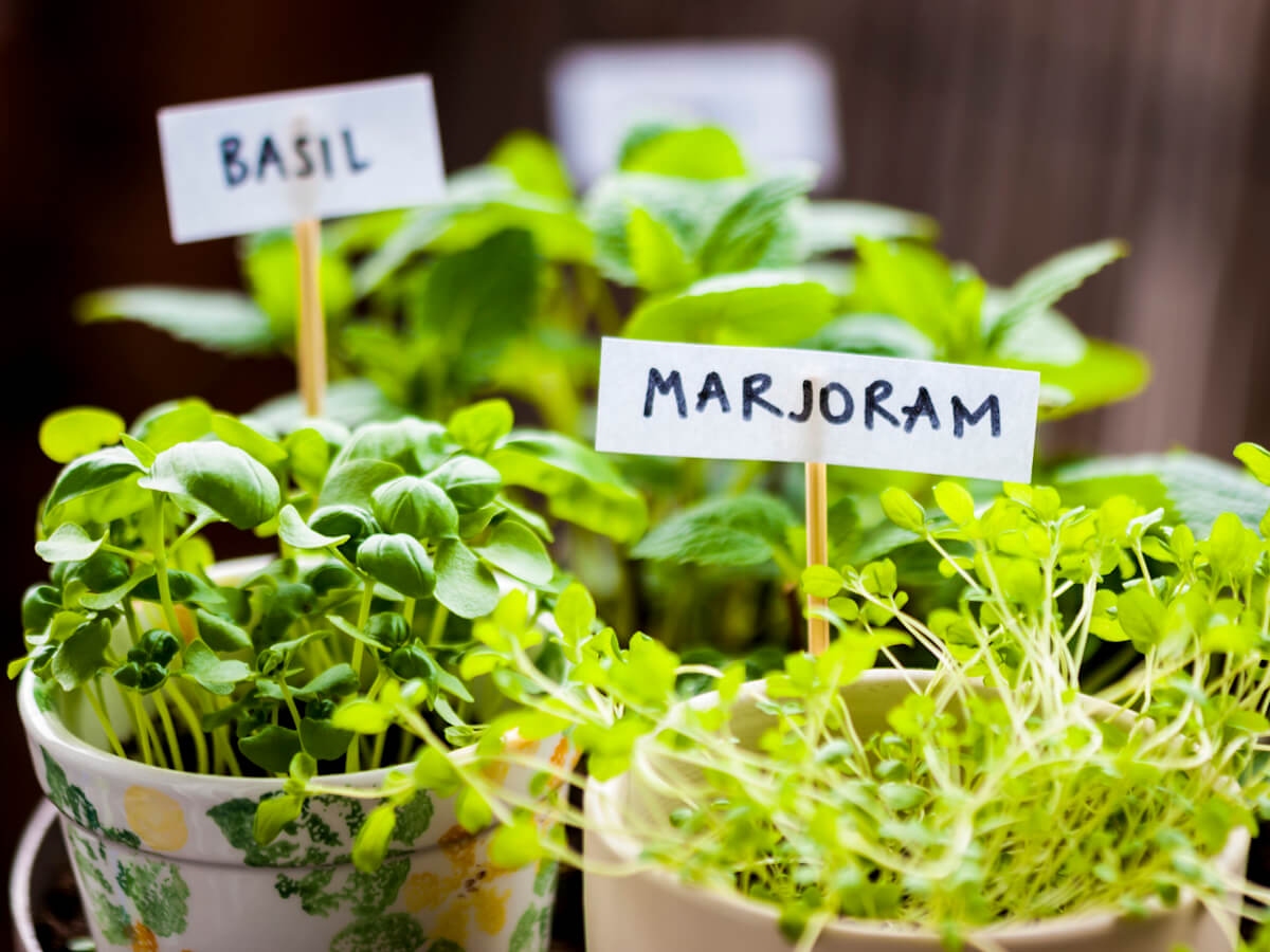 Majoram and basil herbs in flower pots on balcony.