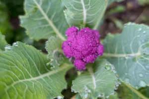 Purple cauliflower growing in the garden.