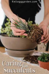 Hands planting a succulent in a pot