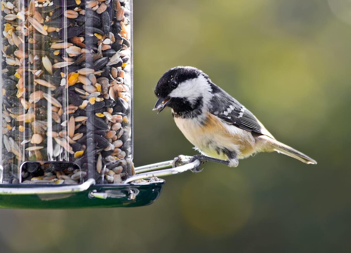 Coal Tit perched on a bird feeder.