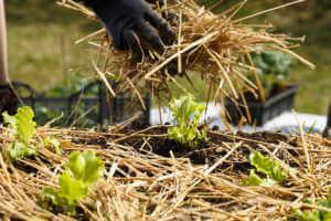 Gardener spreading straw mulch in garden.