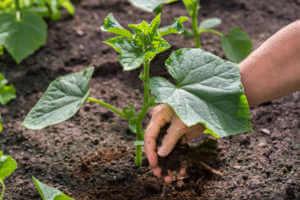 hand of a farmer giving plant fertilizer in soil.