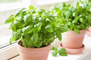 Herbs growing in pots on a window seal.