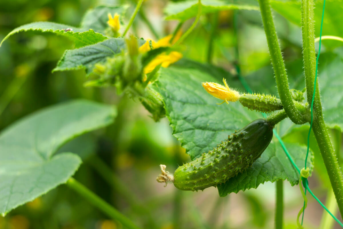 Close up of green cucumbers growing in pots.