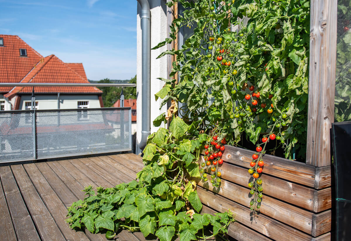 Tomatoes and cucumbers grow in a raised bed on a balcony.