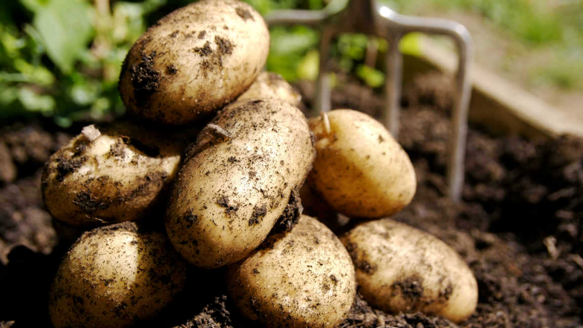 Freshly harvested potatoes sitting in soil in a pile with a pitchfork in the background.