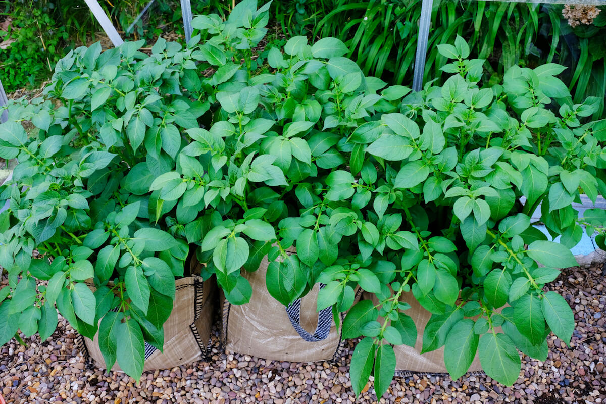 Potatoes growing in fabric bags.