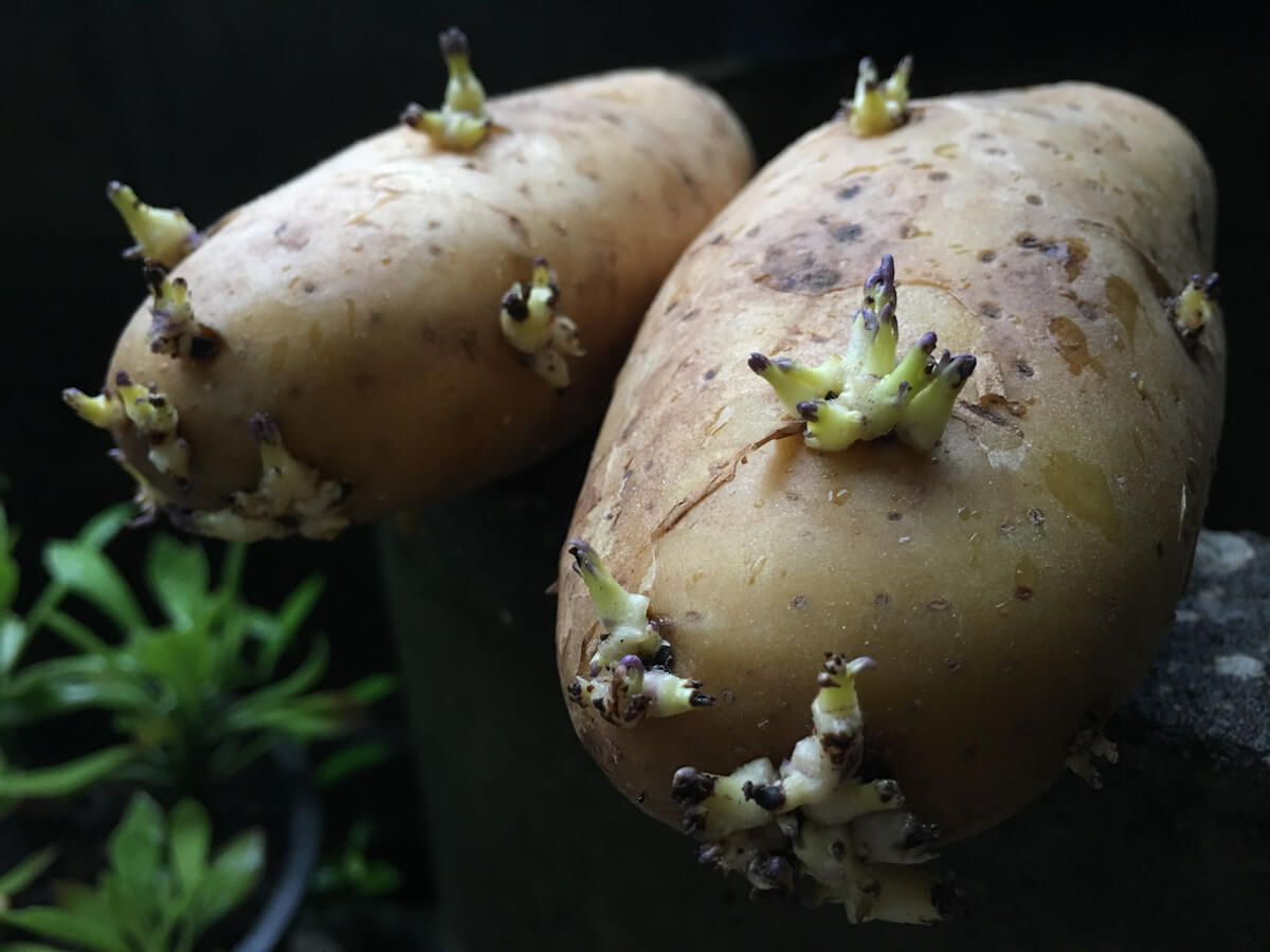 New potato tubers are sprouting