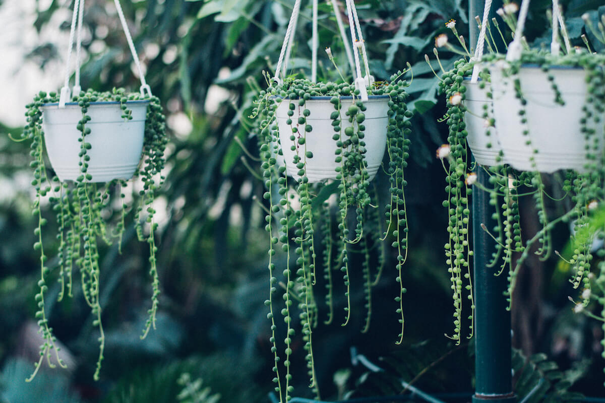 String of pearls succulent plant hanging in a greenhouse.