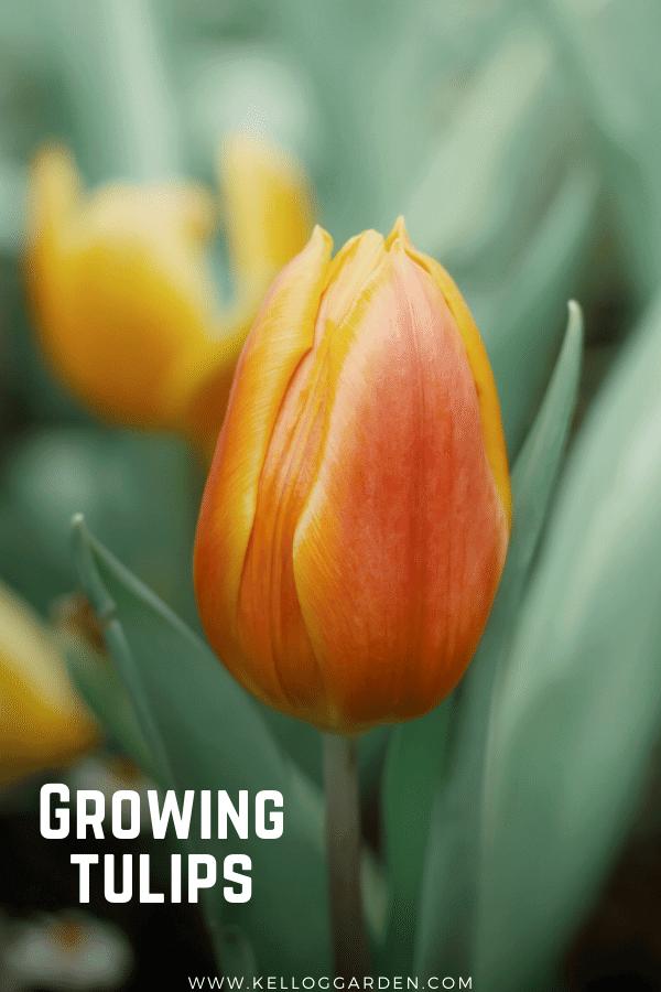 close up of an orange tulip in garden.