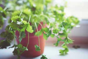 Fresh green Cilantro in pot by the window.